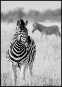 Zebra Bw Plakat
