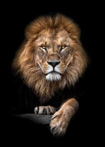 Focused Lion Color Plakat