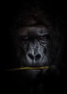 Mysterious gorilla Plakat