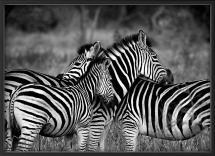 Zebra group-hugs Plakat
