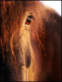 Horse sunset Plakat