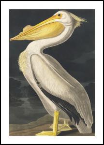 American White Pelican Plakat