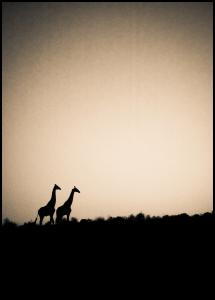Giraffes Plakat