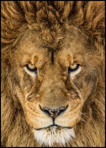 Serious Lion Plakat