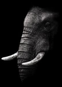 Portrait Elephant Plakat