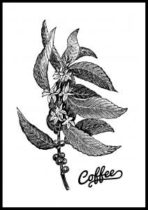 Coffee Botanical